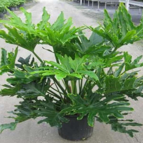 Ý nghĩa, cách trồng và chăm sóc cây trầu bà thanh xuân - trihovuongkhi.com